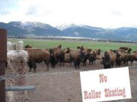 you-cant-roller-skate-in-a-buffalo-herd